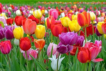 Champ de tulipes sur Judith Cool