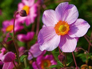 Rosa Herbstanemone (Anemone Hybrida Pink) von Caroline Lichthart