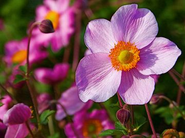 Roze Herfst-Anemoon (Anemone Hybrida Roze) van Caroline Lichthart