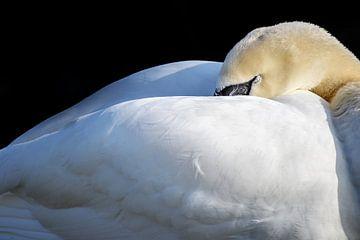 slapende stomme zwaan (Cygnus olor) zet zijn hoofd onder de vleugels, kopieer ruimte, geselecteerde  van Maren Winter