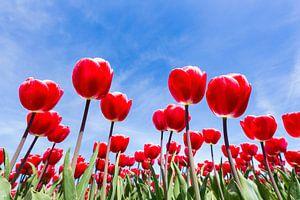 Veld met bloeiende rode tulpen van onderen met blauwe lucht van