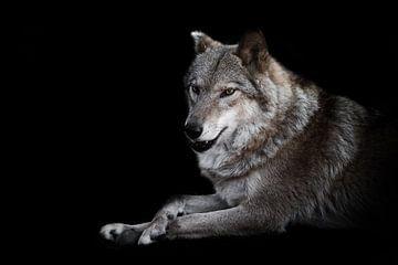 Geïnteresseerde blikken op een kier. Het vrouwtje van de wolf ligt prachtig op de grond, imposant li van Michael Semenov