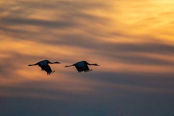 Kraanvogels van Aalt van Tongeren