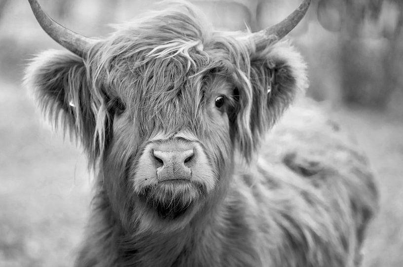 Schotse Hooglander  koe  Zwart - Wit van Ton Tolboom