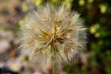 Fliegende Samen wie auf dem Löwenzahn von Marco Leeggangers