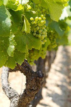 Druivestokken in een wijngaard in Zuid-Frankrijk (8) van rene marcel originals
