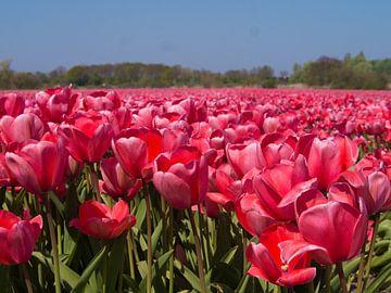 nederlandse bollenvelden, Dutch bulb fields van Evelien Brouwer