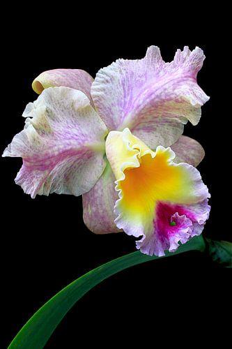 Orchidee BLC Goldenzelle von
