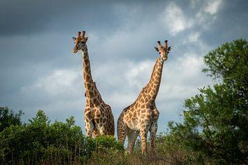 Giraffe von Ed Dorrestein