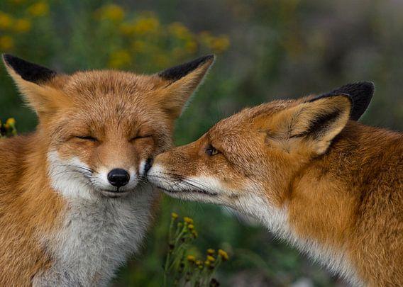 Lieve vosjes van Robin Voorhamm