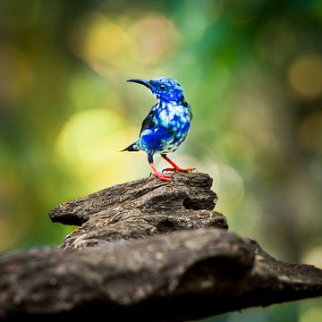 red legged honeycreeper, blauwe honingzuiger vogel