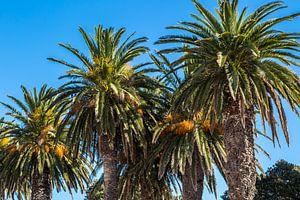 Palmbomen van
