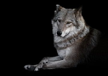 Beobachten. Die Wölfin liegt schön auf dem Boden, imposant liegt sie. Mächtiges graziöses Tier Halbe von Michael Semenov