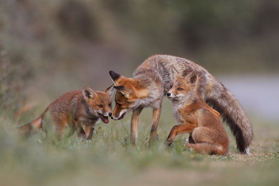 Family fox van Pim Leijen