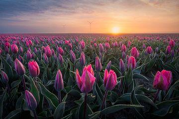 Tulpen in Flevoland - Zonsopkomst bij een bollenveld - Pasteltinten van Marijn Alons