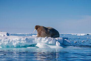 Walross auf dem Eis von Merijn Loch