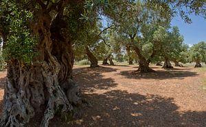 Olijfbomen, Ostuni, Puglia, Italië van Rene van der Meer