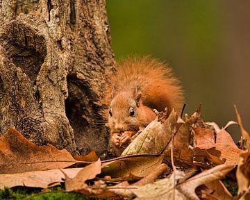 Eichhörnchen frisst Nuss zwischen den Herbstblättern sitzend von Els Peelman