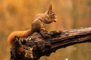 eekhoorn sur roeland scheeren