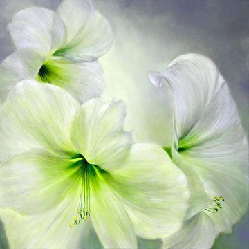 Hvid amaryllis van Annette Schmucker