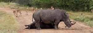 Wegblokkade, Kruger Park Zuid Afrika
