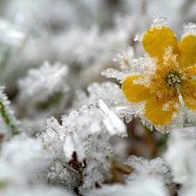Eisblume von Andreas Müller