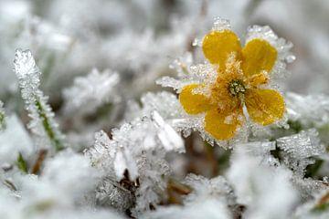 Iceflower van Andreas Müller