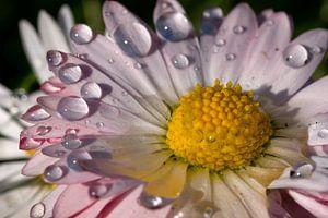 Gänseblümchen im Detail