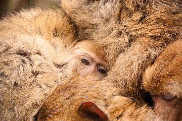 Jonge makaak omringd door familie van Sanne van der Valk