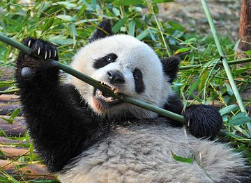 Kungfu panda (  reuzenpanda of giant panda bear ) van Chihong