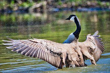 Canadese gans droogt de vleugels van Marita Autering