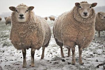 gebroeders schaap in de sneeuw van Matthijs Temminck