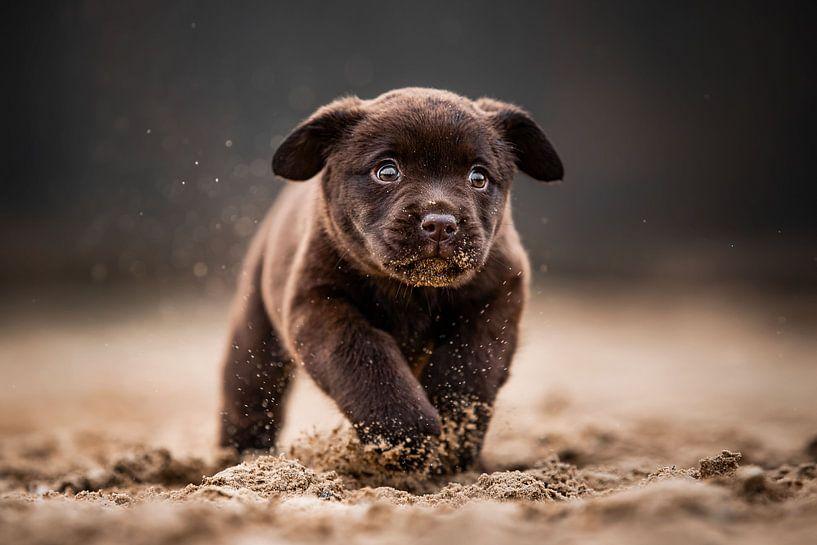 Labrador-Welpe rennt fröhlich und frech durch den Sand von Lotte van Alderen