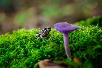 Kikker kijkend  naar een paarse paddenstoel van Fotografiecor .nl