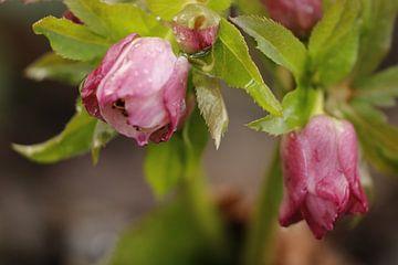 Blütenknospen von Helleborus Niger von Cora Unk