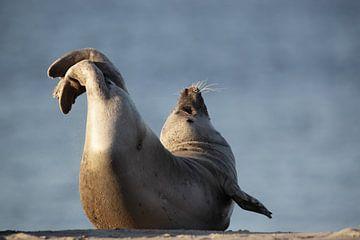Seehund (Phoca vitulina) von Dirk Rüter