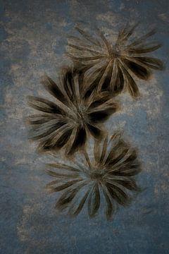 Wilde Zichorie - Cichorium intybus von Christophe Fruyt