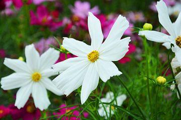 witte bloemen van