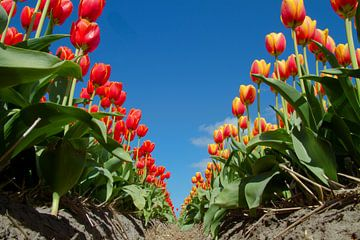rood-oranje tulpen tegen blauwe lucht van Tiny Hoving-Brands