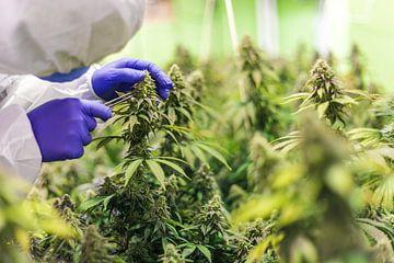 Cannabis voor medisch gebruik van Felix Brönnimann