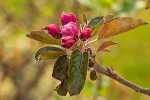 Roze bloesem bijna bloeiend van de frisse Elstar appel