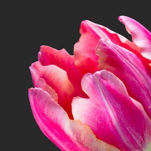 Detail van een fel roze tulp met donkere achtergrond van