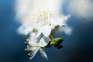 Witte bloem in blauw sur Maurice Looyestein