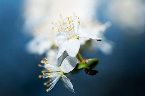 Witte bloem in blauw van
