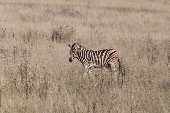 Zebra van Eddy Kuipers
