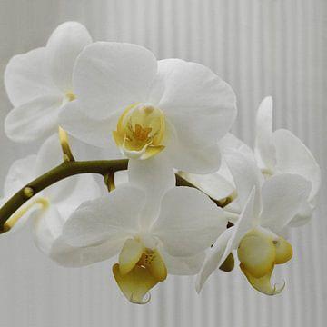 weisse Orchidee van Marion Engelhardt