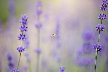 Lavendel mit einer Spinne von Kristof Ven