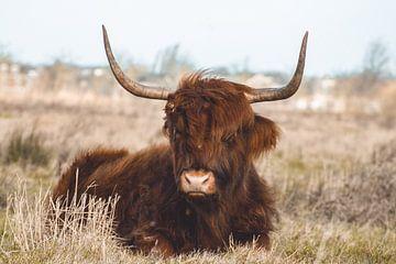 Schotse Hooglander van RedRoseFotografie
