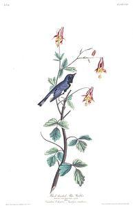 Blauwe Zwartkeelzanger