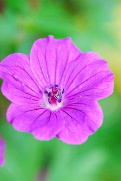 Deep purple van Laurent Scheffer